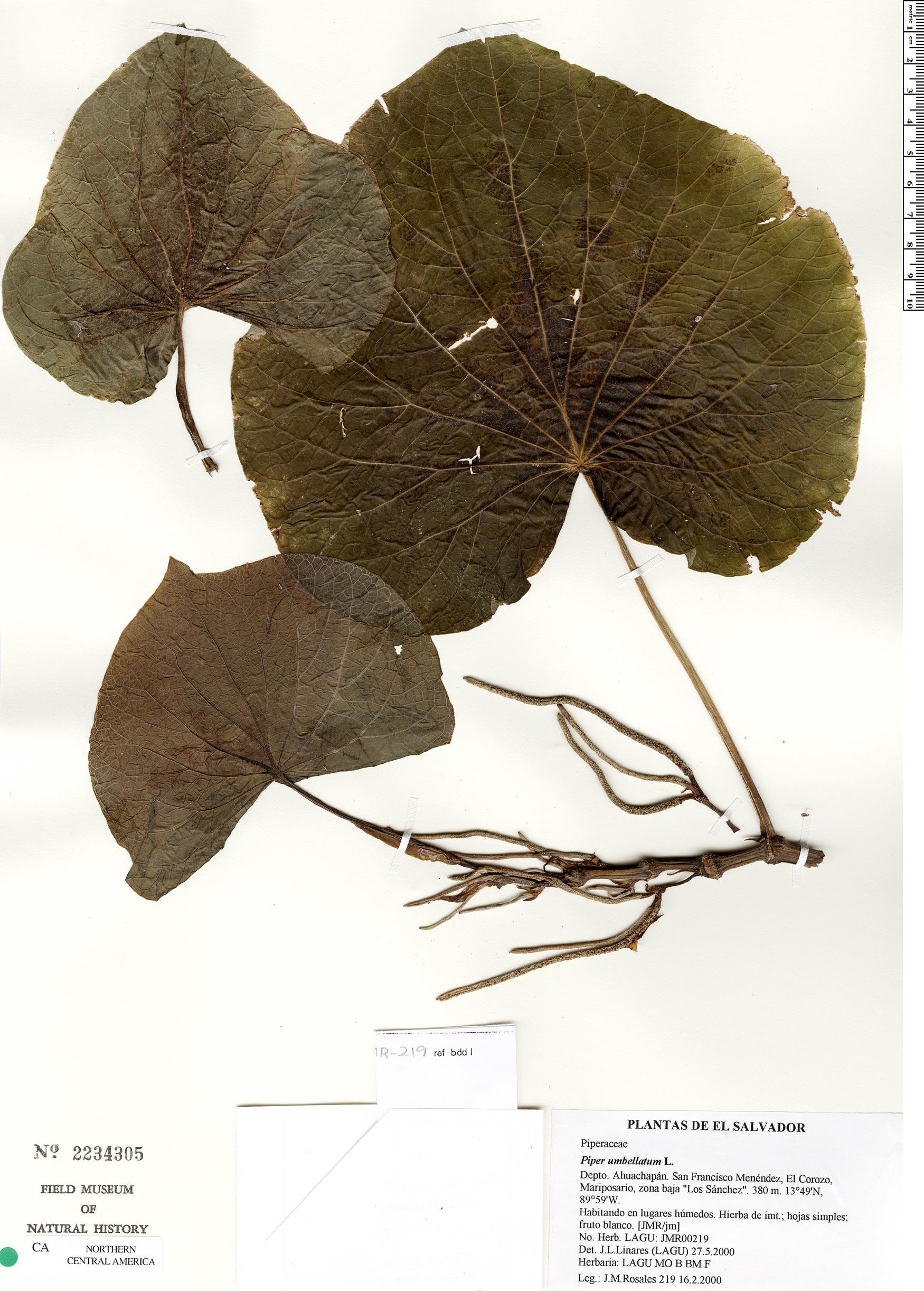 Specimen: Piper umbellatum
