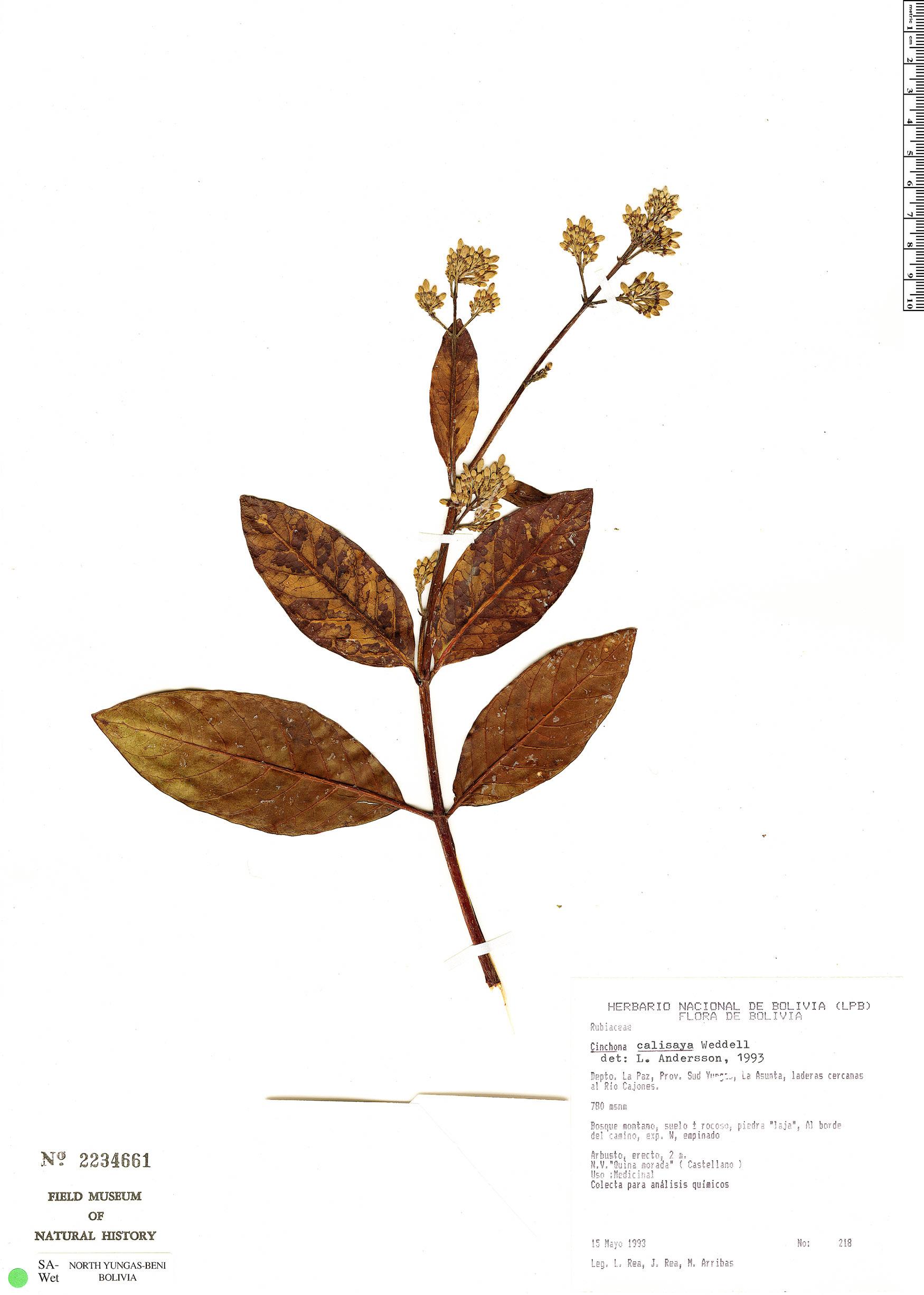 Specimen: Cinchona calisaya