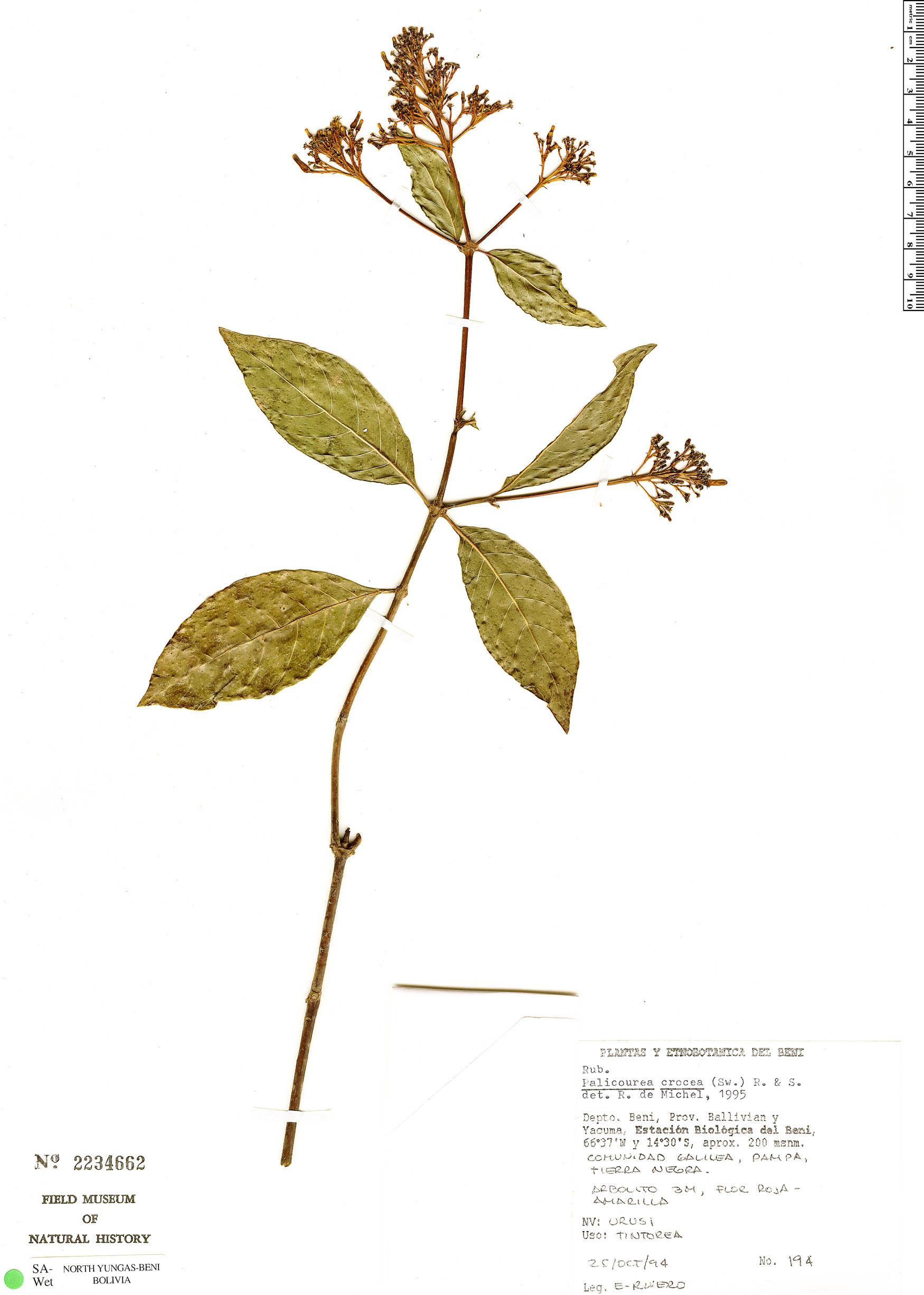 Espécime: Palicourea crocea