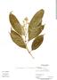 Conostegia montana (Sw.) D. Don ex DC., Panama, C. Galdames 3320, F