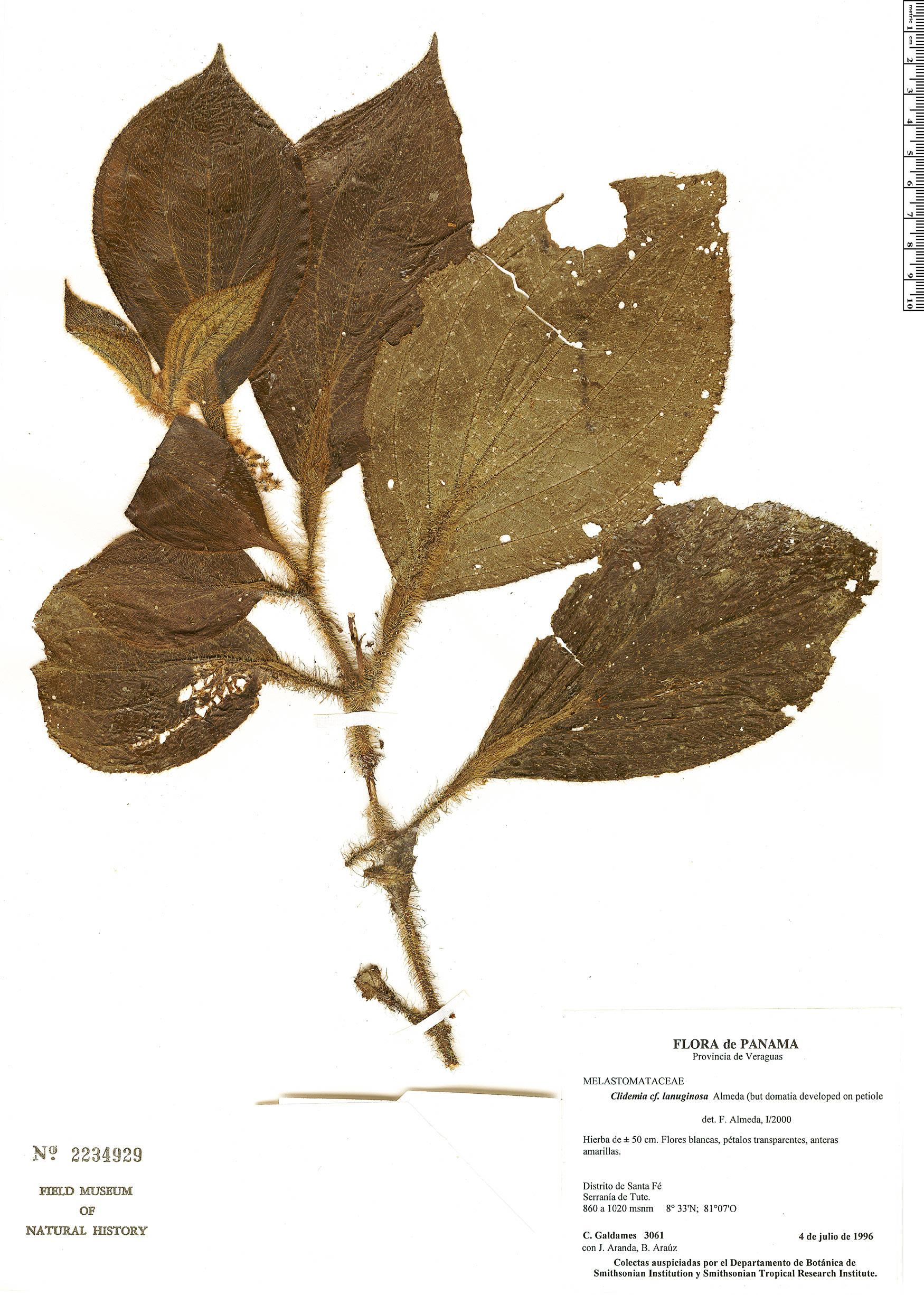 Specimen: Clidemia lanuginosa