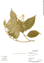 Conostegia micrantha Standl., Panama, C. Galdames 3317, F