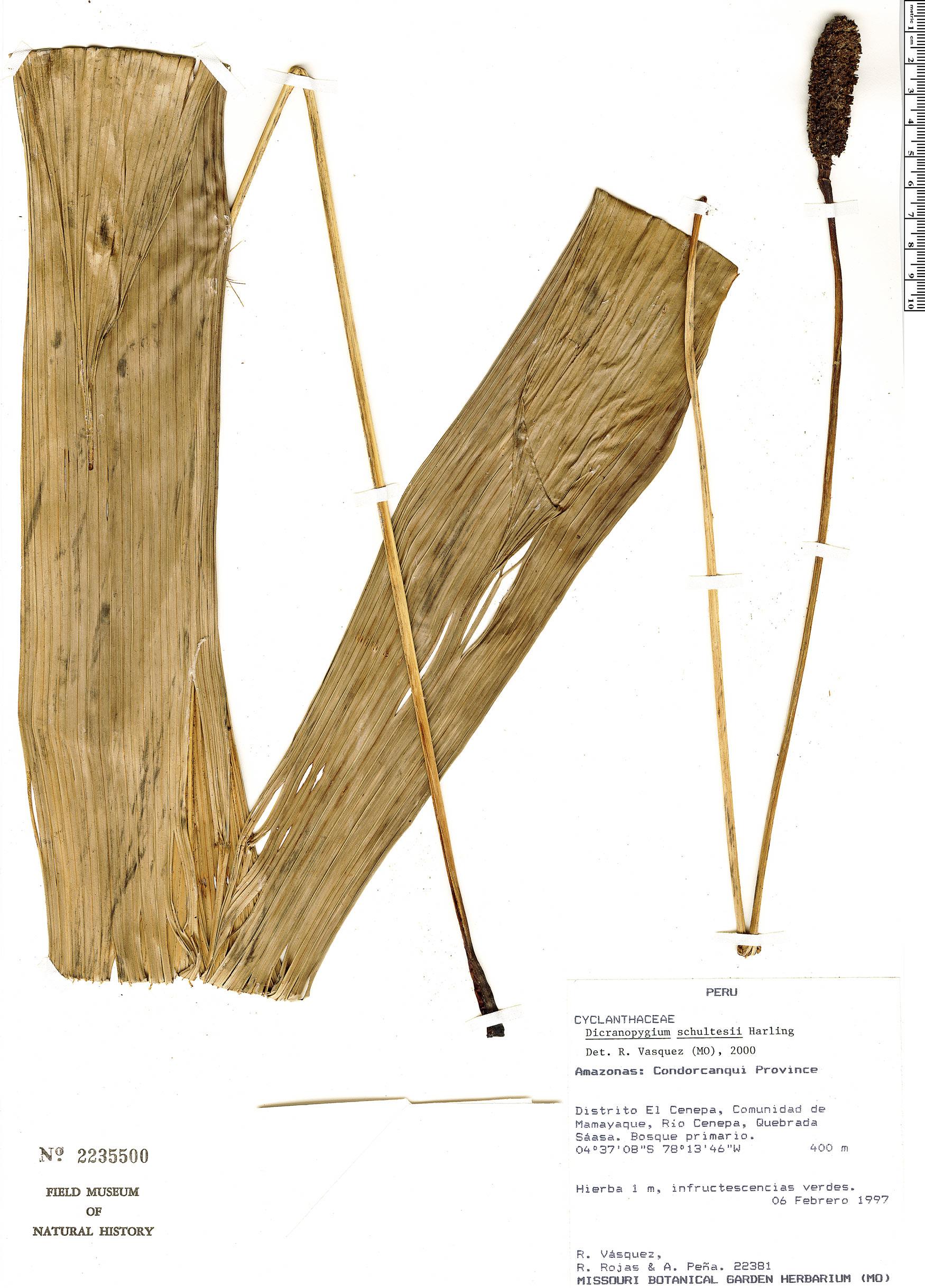 Specimen: Dicranopygium schultesii