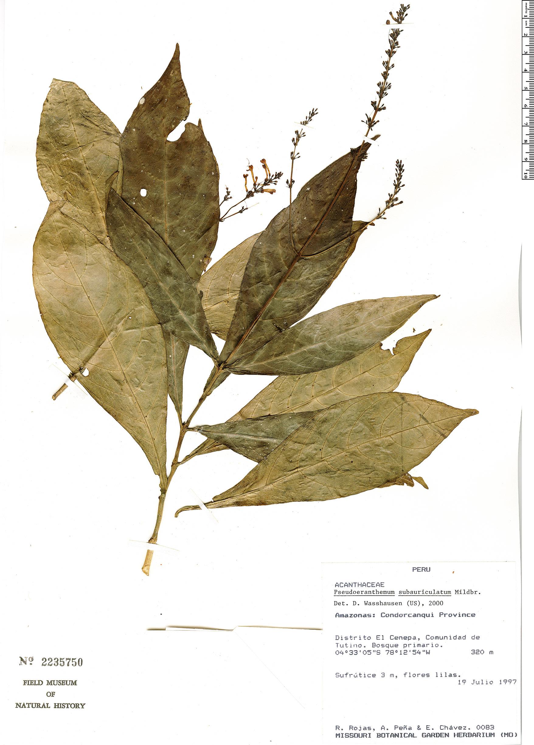 Specimen: Pseuderanthemum subauriculatum