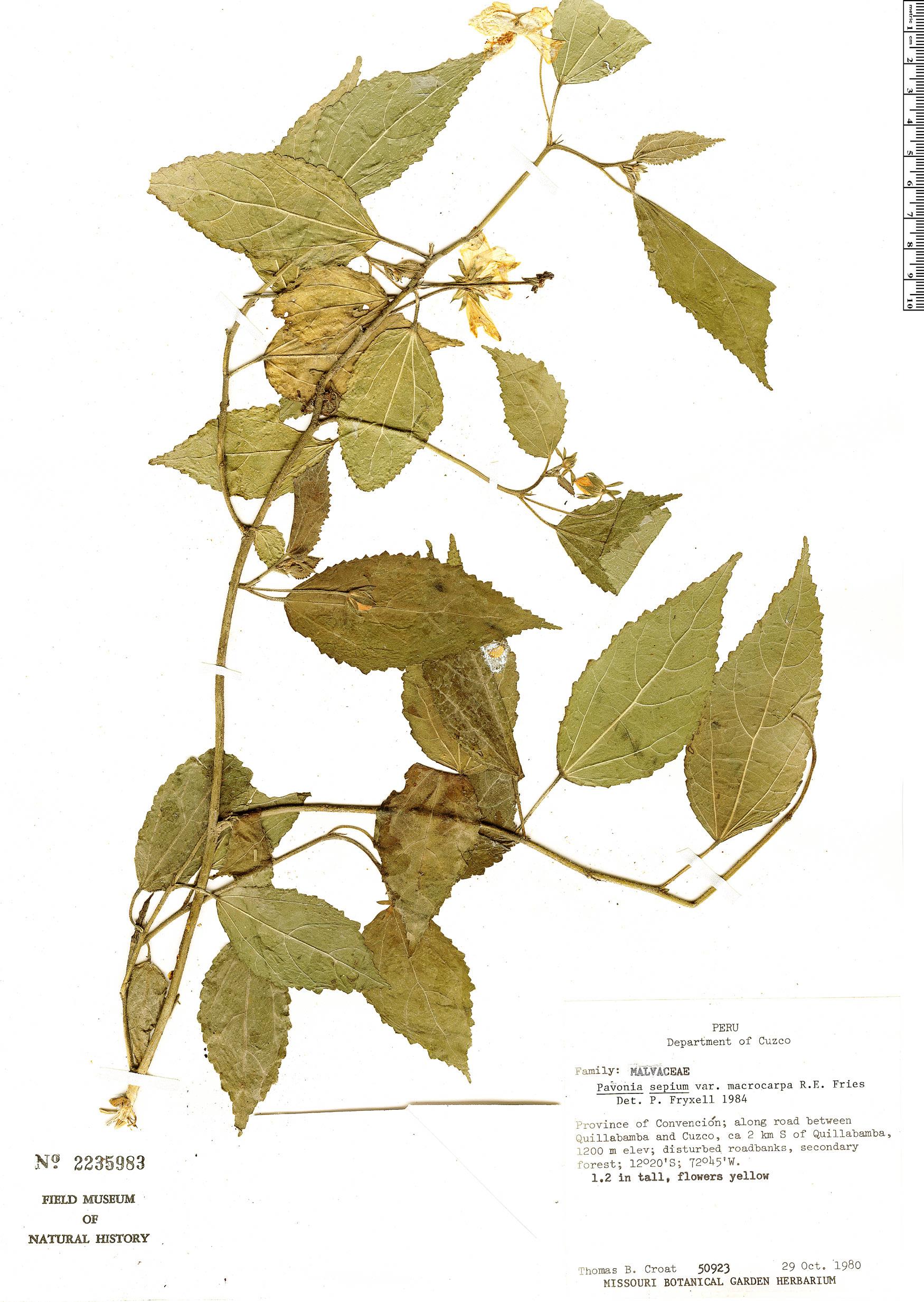 Specimen: Pavonia sepioides