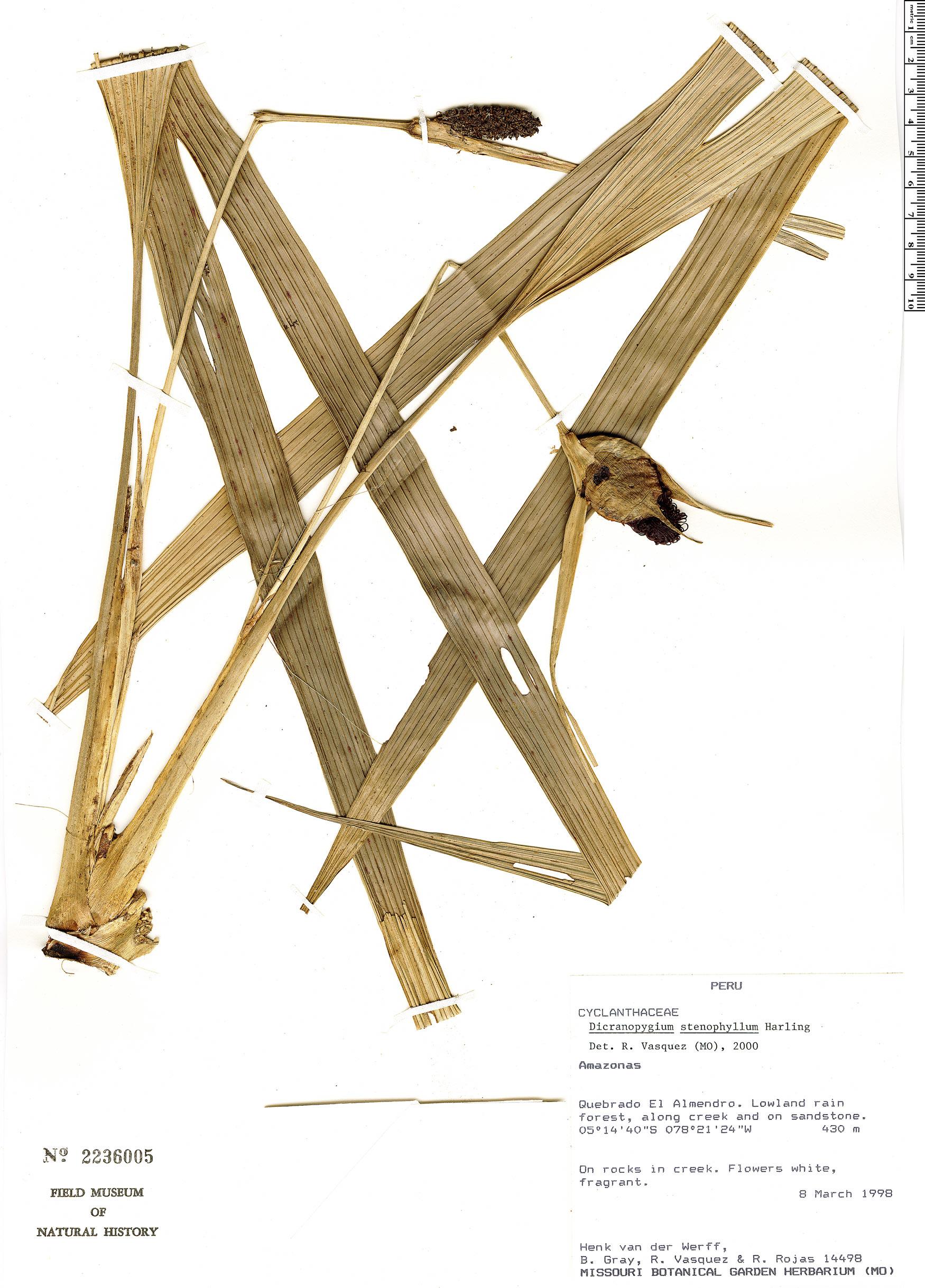 Specimen: Dicranopygium stenophyllum