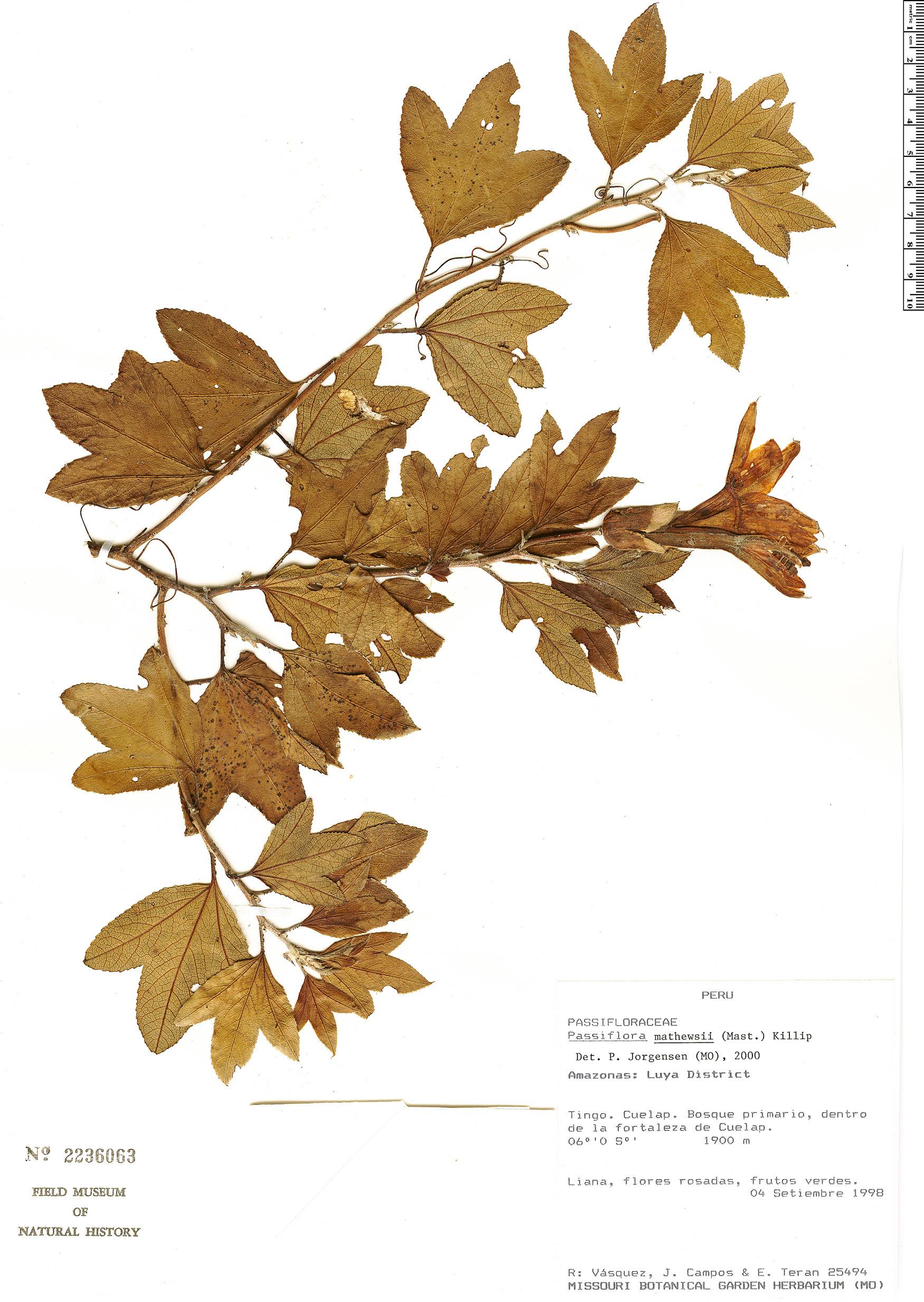 Specimen: Passiflora mathewsii