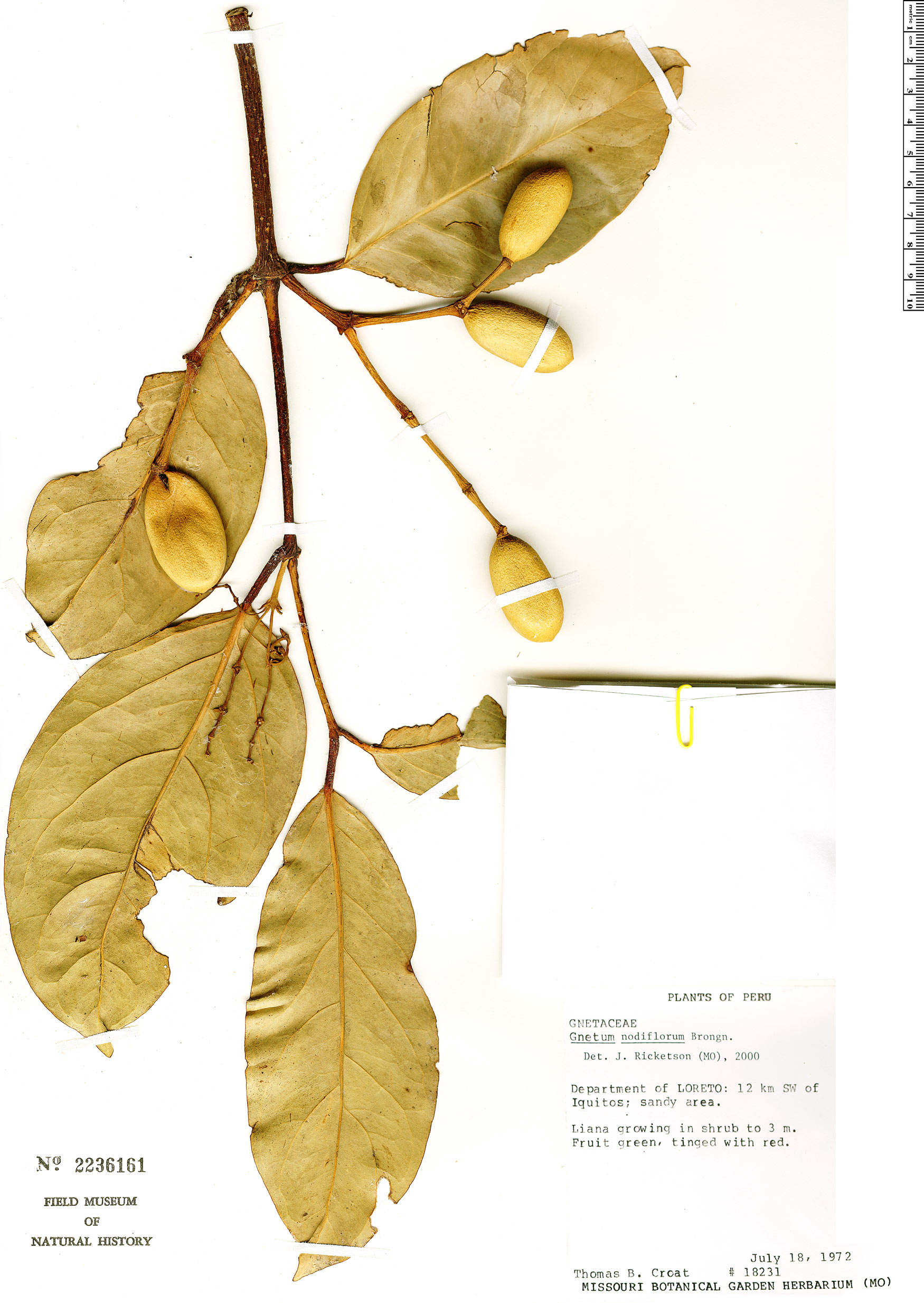 Espécimen: Gnetum nodiflorum