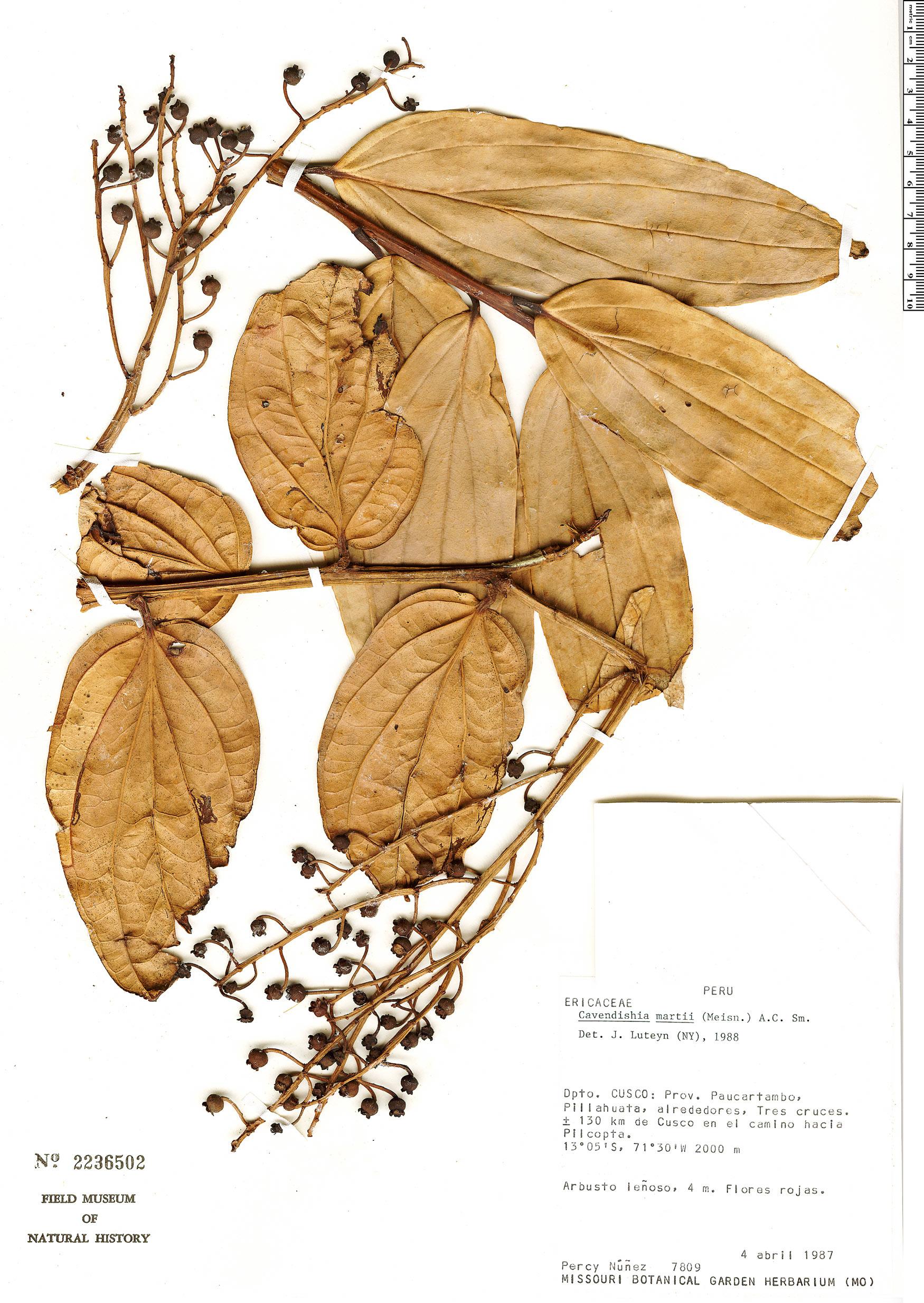 Specimen: Cavendishia martii