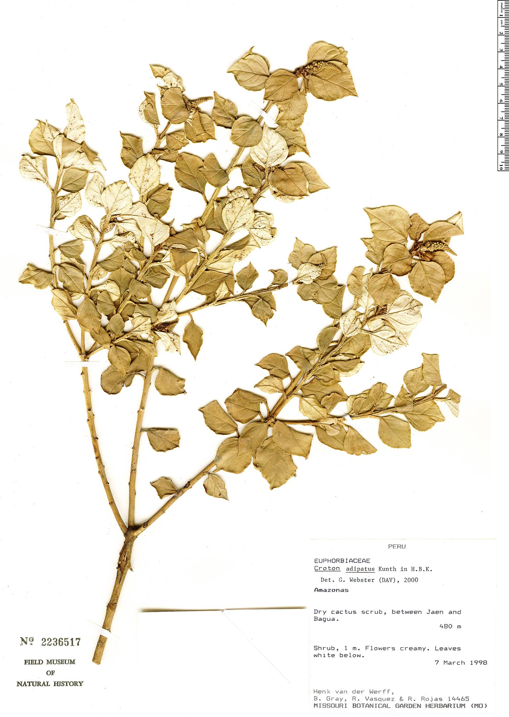 Specimen: Croton adipatus