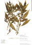 Hygrophila costata Nees, Peru, J. Campos 2668, F