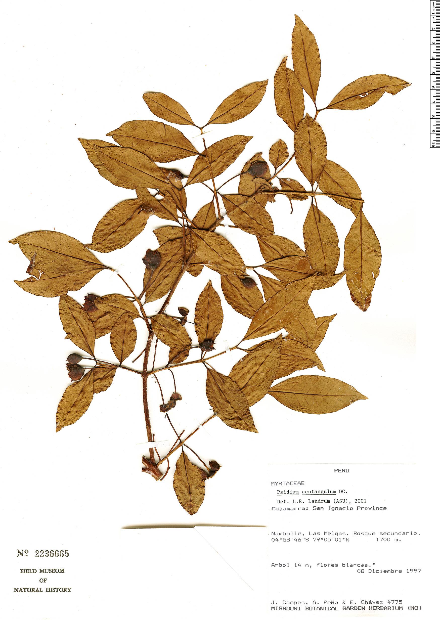 Specimen: Psidium acutangulum