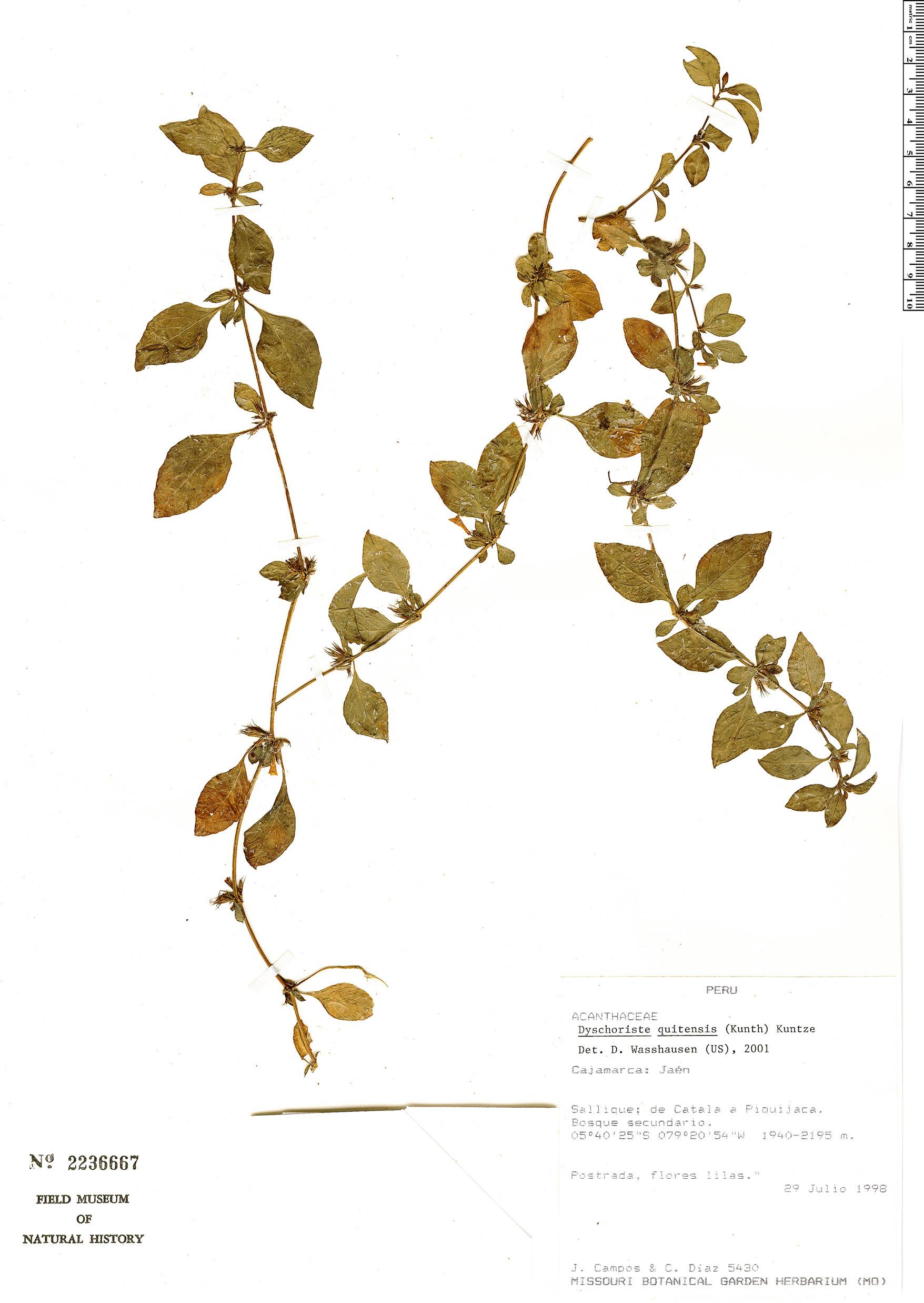 Specimen: Dyschoriste quitensis