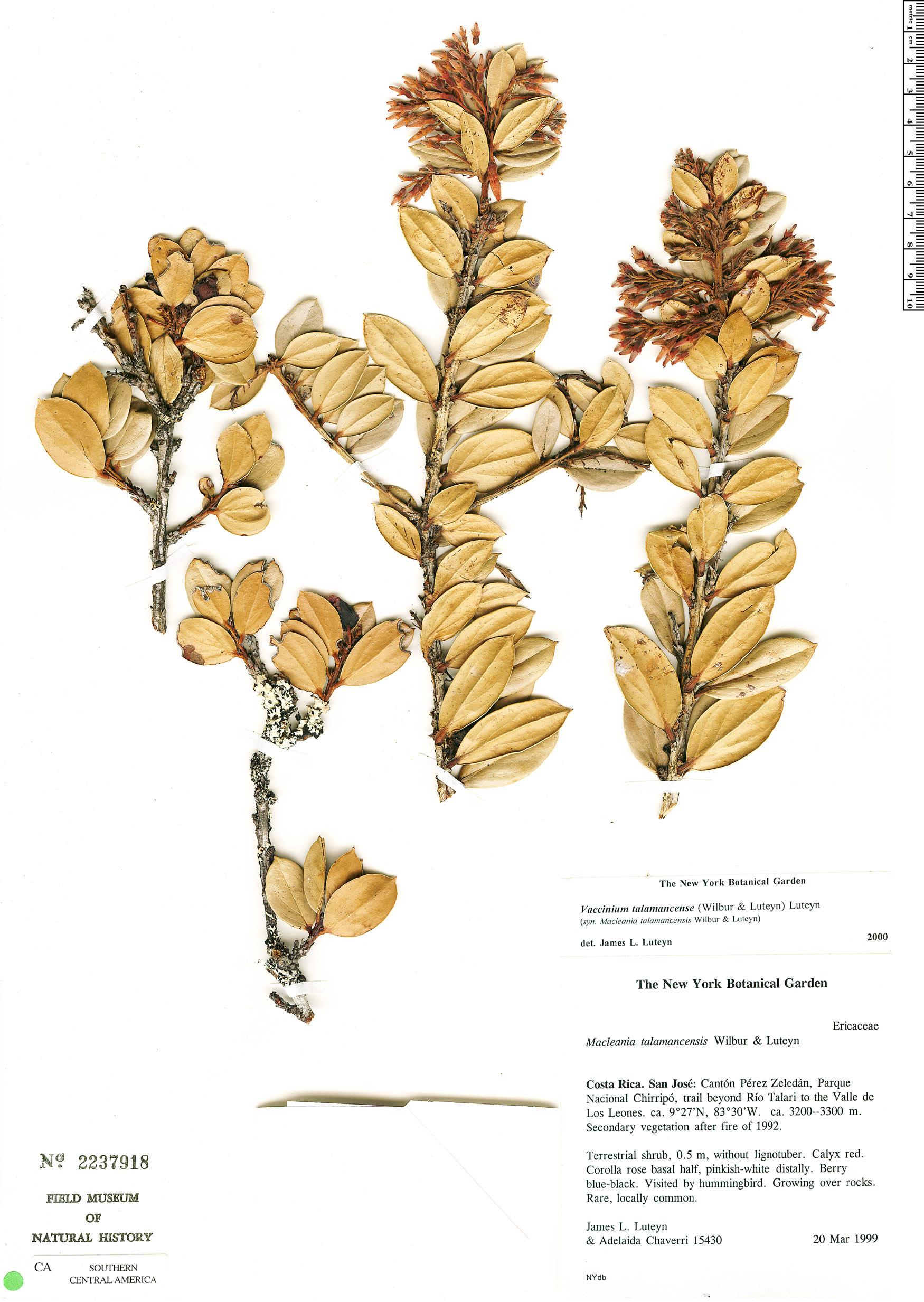 Specimen: Vaccinium talamancense