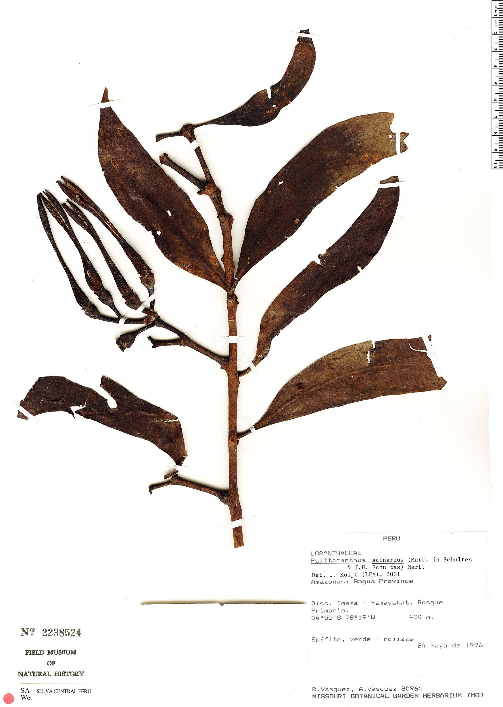 Specimen: Psittacanthus acinarius