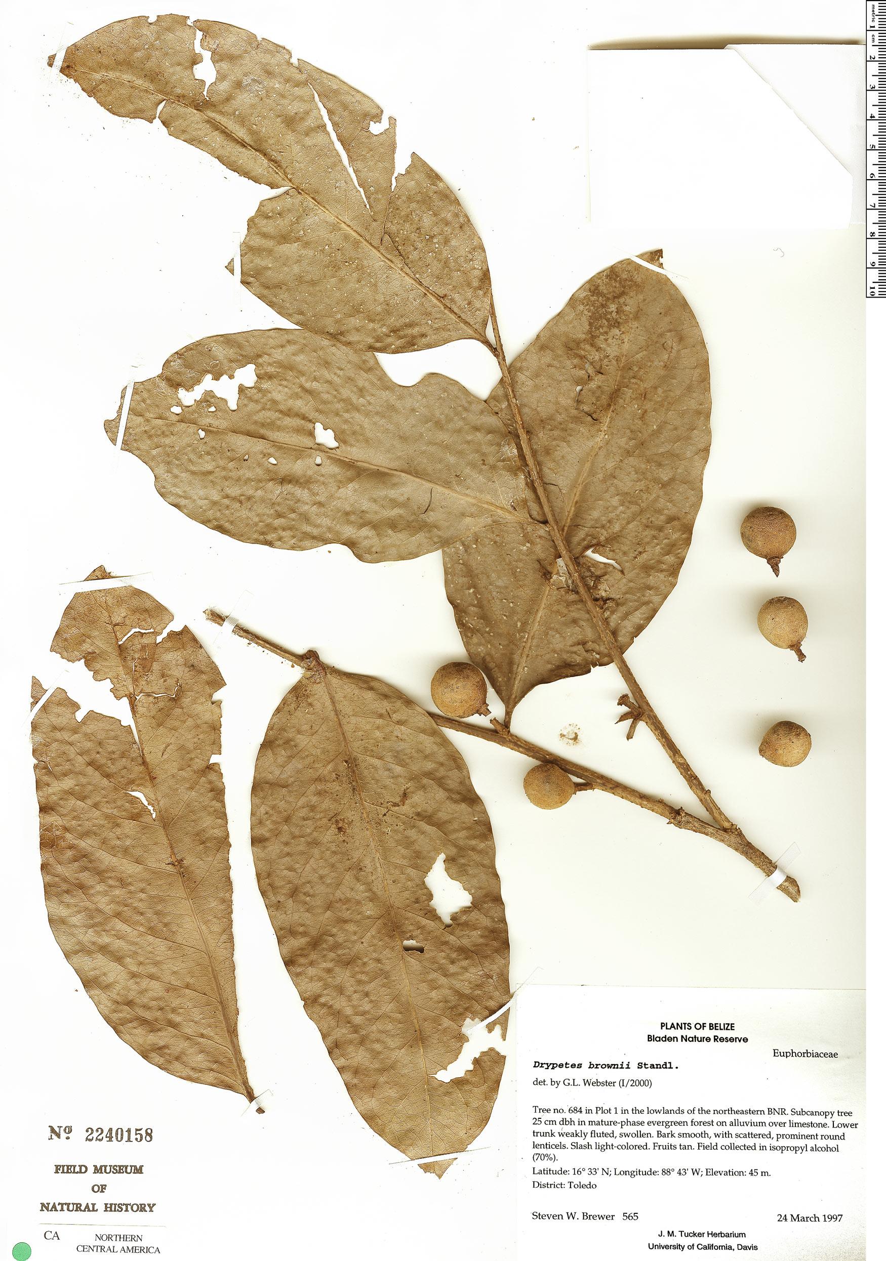 Specimen: Drypetes brownii