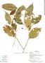 Myrcia splendens (Sw.) DC., Ecuador, G. Villa 1533, F