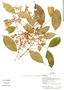 Myrcia splendens (Sw.) DC., Ecuador, G. Villa 1450, F