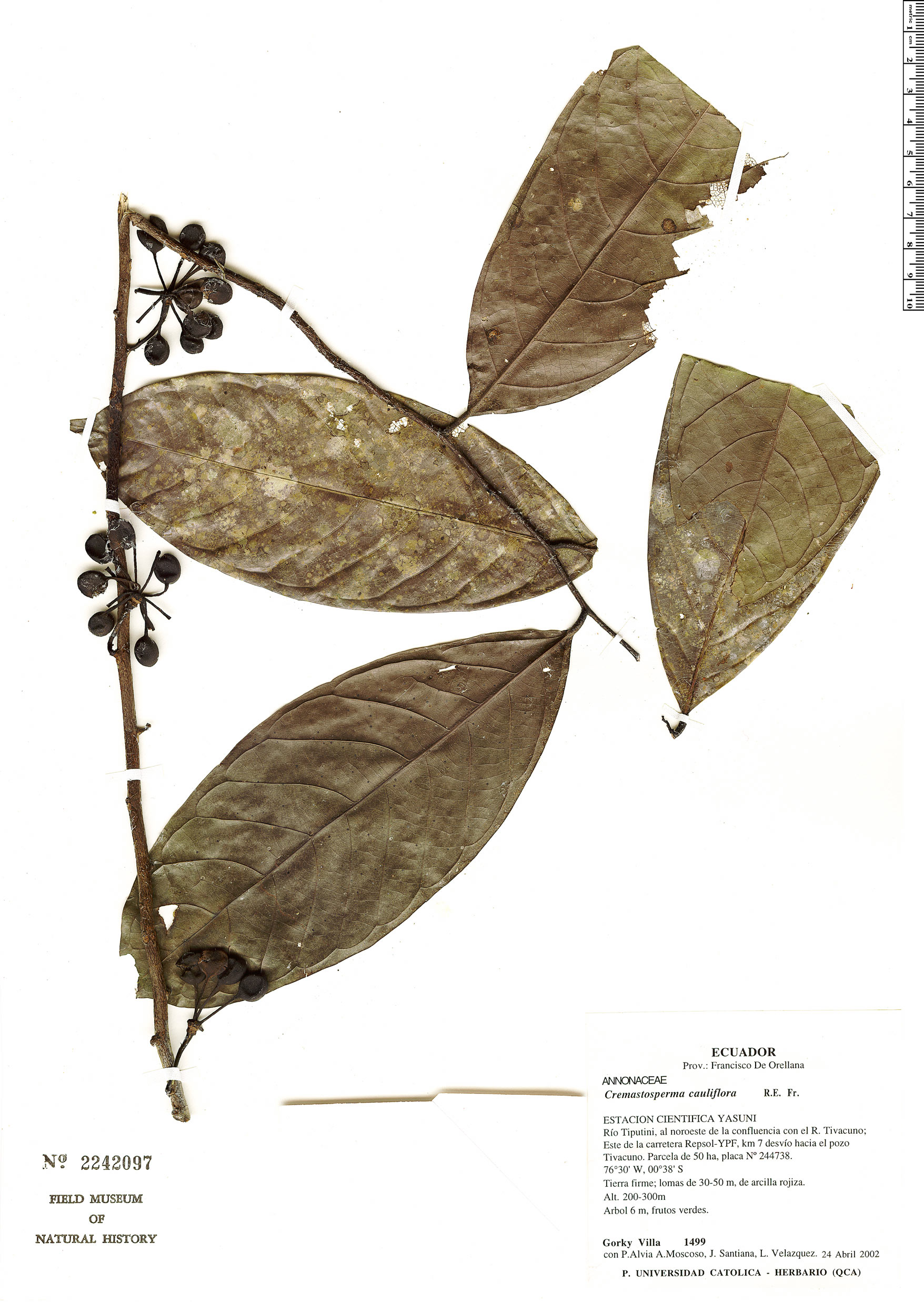 Specimen: Cremastosperma megalophyllum