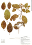 Calycophyllum spruceanum (Benth.) K. Schum., Ecuador, G. Villa 1477, F