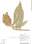 Costus guanaiensis var. tarmicus image