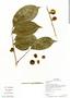 Casearia pitumba Sleumer, Ecuador, G. Villa 915, F
