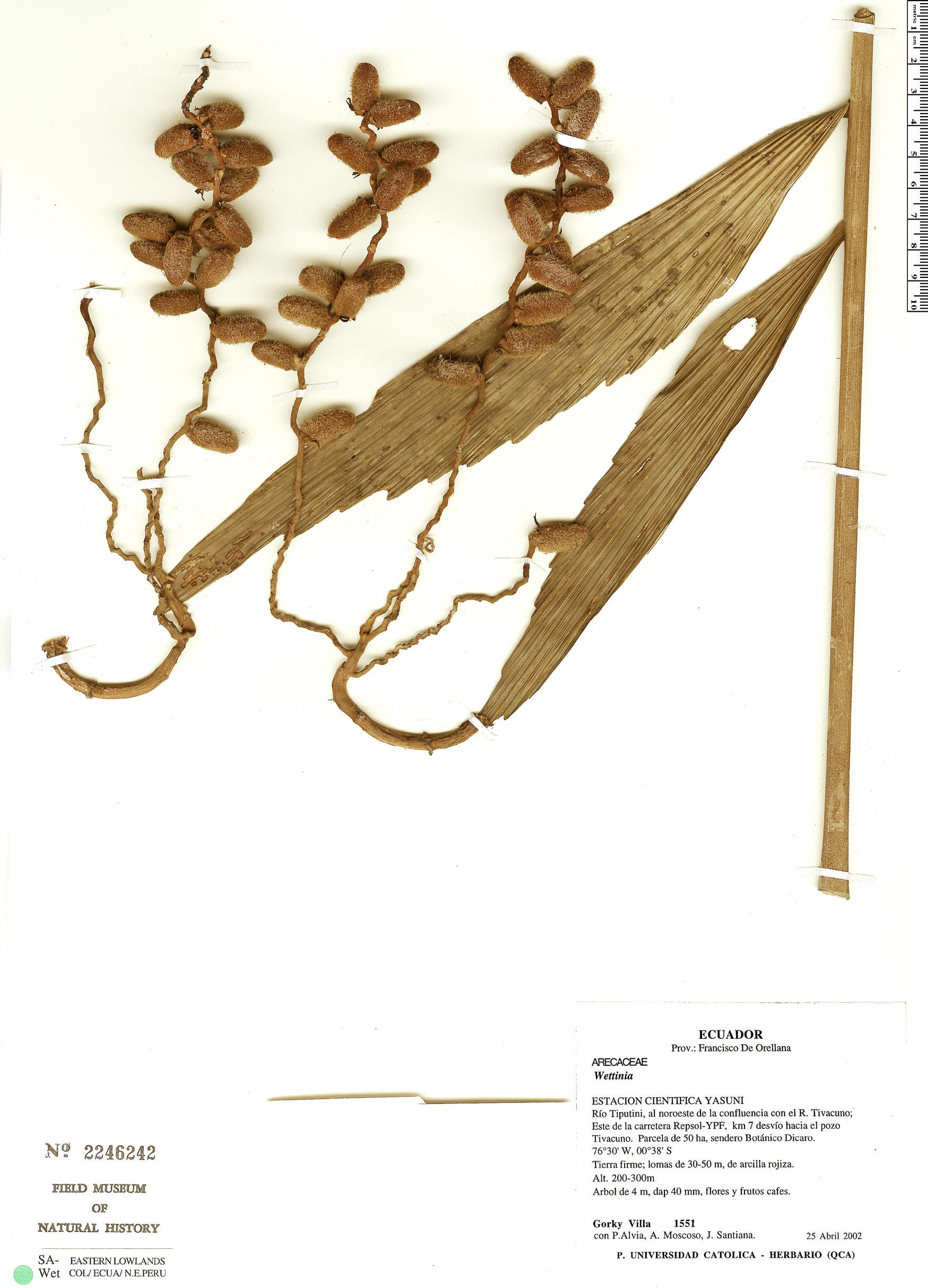 Specimen: Wettinia aequatorialis