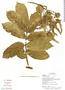 Tachigali paniculata Aubl., Ecuador, G. Villa 1560, F