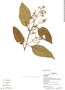 Amaranthaceae, Ecuador, G. Villa 1391, F