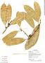 Naucleopsis glabra, Ecuador, G. Villa 1129, F