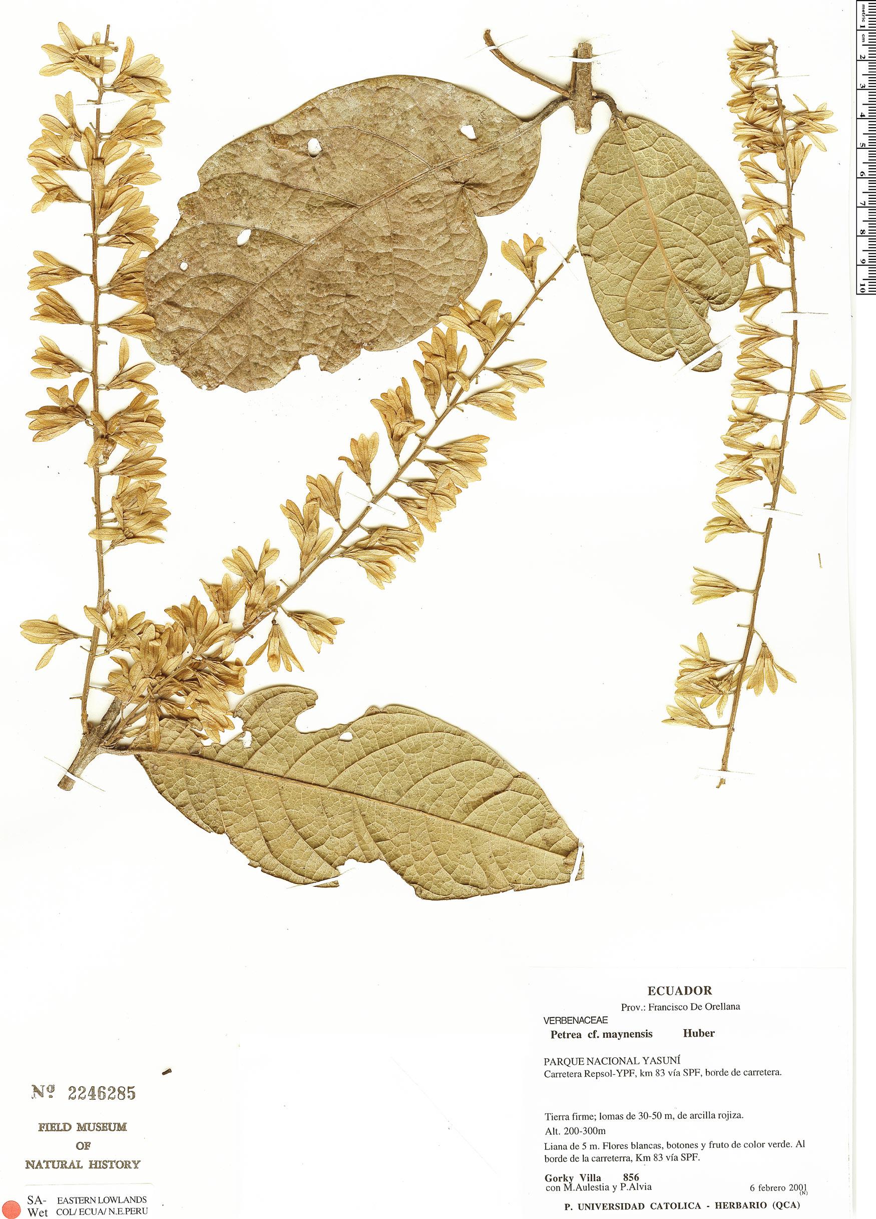 Specimen: Petrea maynensis