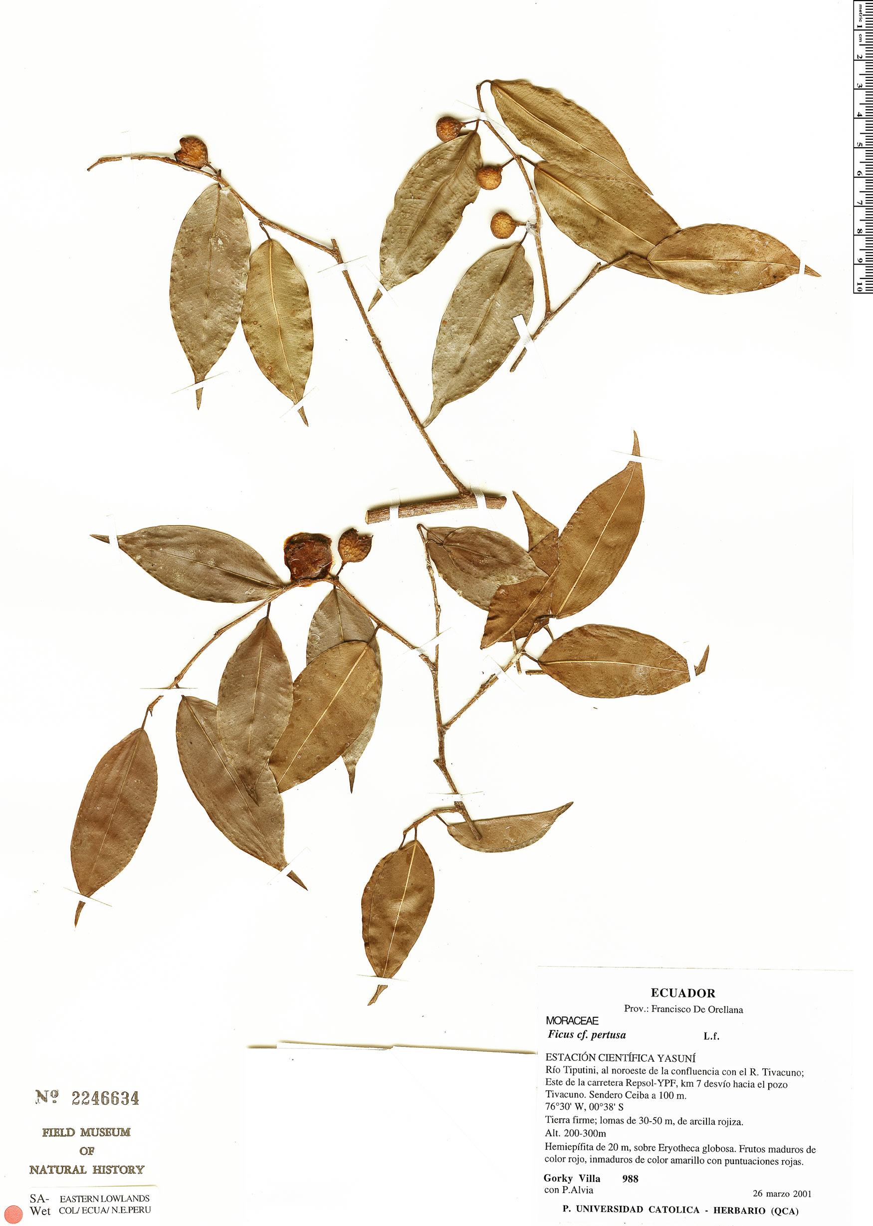 Espécime: Ficus pertusa