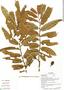 Virola flexuosa A. C. Sm., Ecuador, G. Villa 971, F