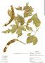 Zygia latifolia, Ecuador, G. Villa 870, F