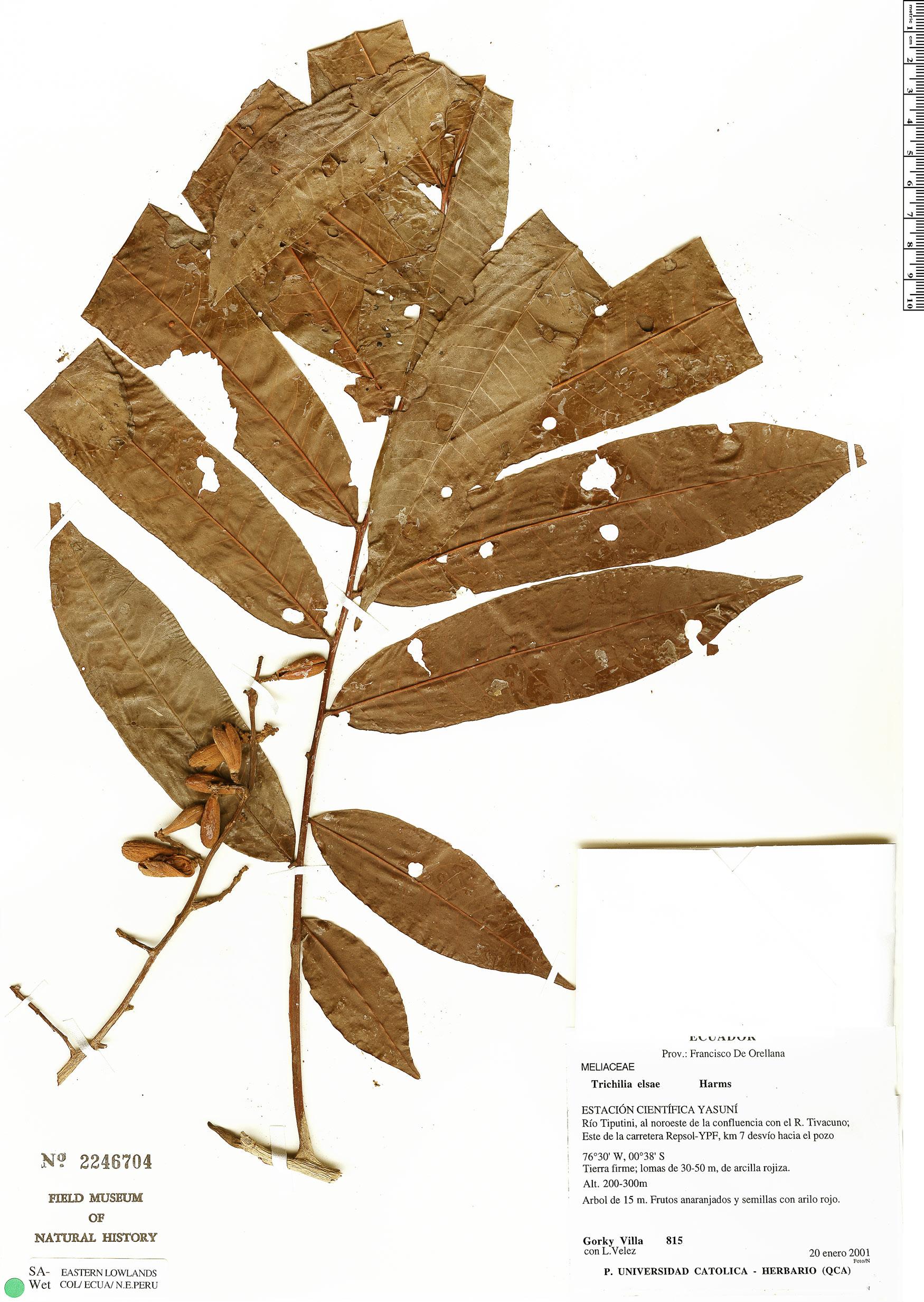 Specimen: Trichilia elsae