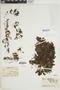 Hymenophyllum tunbrigense image