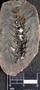 PP 16325 [HS, M] Plantae, Moscovian / Desmoinesian, Francis Creek Shale Member, United States of America, Illinois, Mazon Creek Region