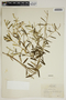 Croton linearis Jacq., U.S.A., F. R. Elder 397, F