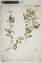 Croton linearis Jacq., U.S.A., J. J. Carter 862, F