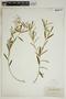 Croton linearis Jacq., U.S.A., S. M. Tracy 9113, F