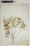 Croton linearis Jacq., U.S.A., A. H. Curtiss 2525C, F