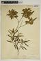 Croton linearis Jacq., U.S.A., A. H. Curtiss 5360, F