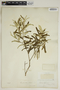Croton linearis Jacq., U.S.A., E. J. Palmer 488, F