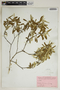 Croton linearis Jacq., U.S.A., A. B. Burgess 769, F