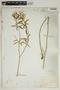 Croton linearis Jacq., U.S.A., J. J. Carter 873, F