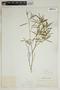Croton linearis Jacq., U.S.A., A. P. Garber, F