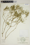 Croton linearis Jacq., U.S.A., H. W. Pfeifer 802, F