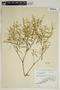 Croton linearis Jacq., U.S.A., G. K. Brizicky 272, F