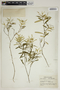 Croton linearis Jacq., U.S.A., C. C. Deam 57624, F