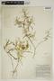 Croton linearis Jacq., U.S.A., L. B. Smith 667, F